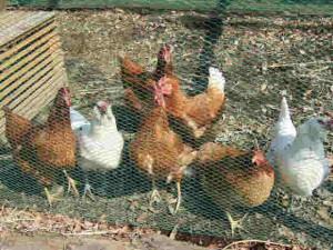 働き者の7羽の娘達