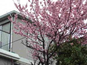 実家の早咲き桜「春めき」