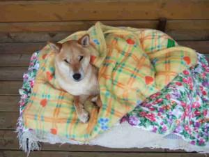 寒かったので妻がゴンに毛布をかけました。