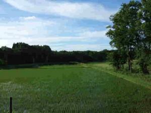 稲の緑も大分濃くなりました