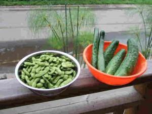 枝豆と加賀きゅうり(右)を収穫