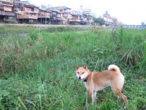 3日の朝の散歩(3条から御池川端方向)