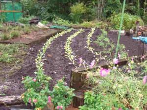 白菜の苗100本を植えました
