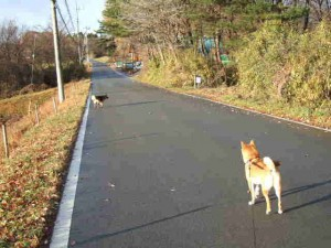 本日の朝の散歩。最近、近くの牧場の「クロちゃん」が一緒に行きます。雄同士ですがゴンとは仲がいいです??