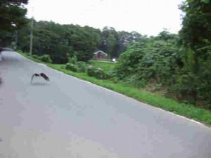 ピー子は道路すれすれに飛びます