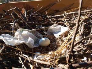 昨年より3日遅れで卵を産みました
