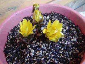 福寿草・・・・春ですね!!・・我が家の花たちです。